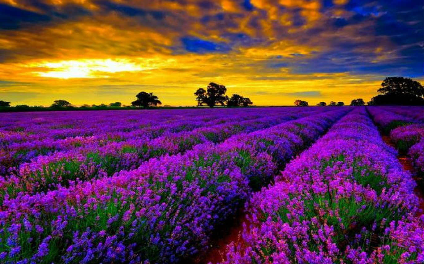 On A Perfume Trail - The Lavender Festival