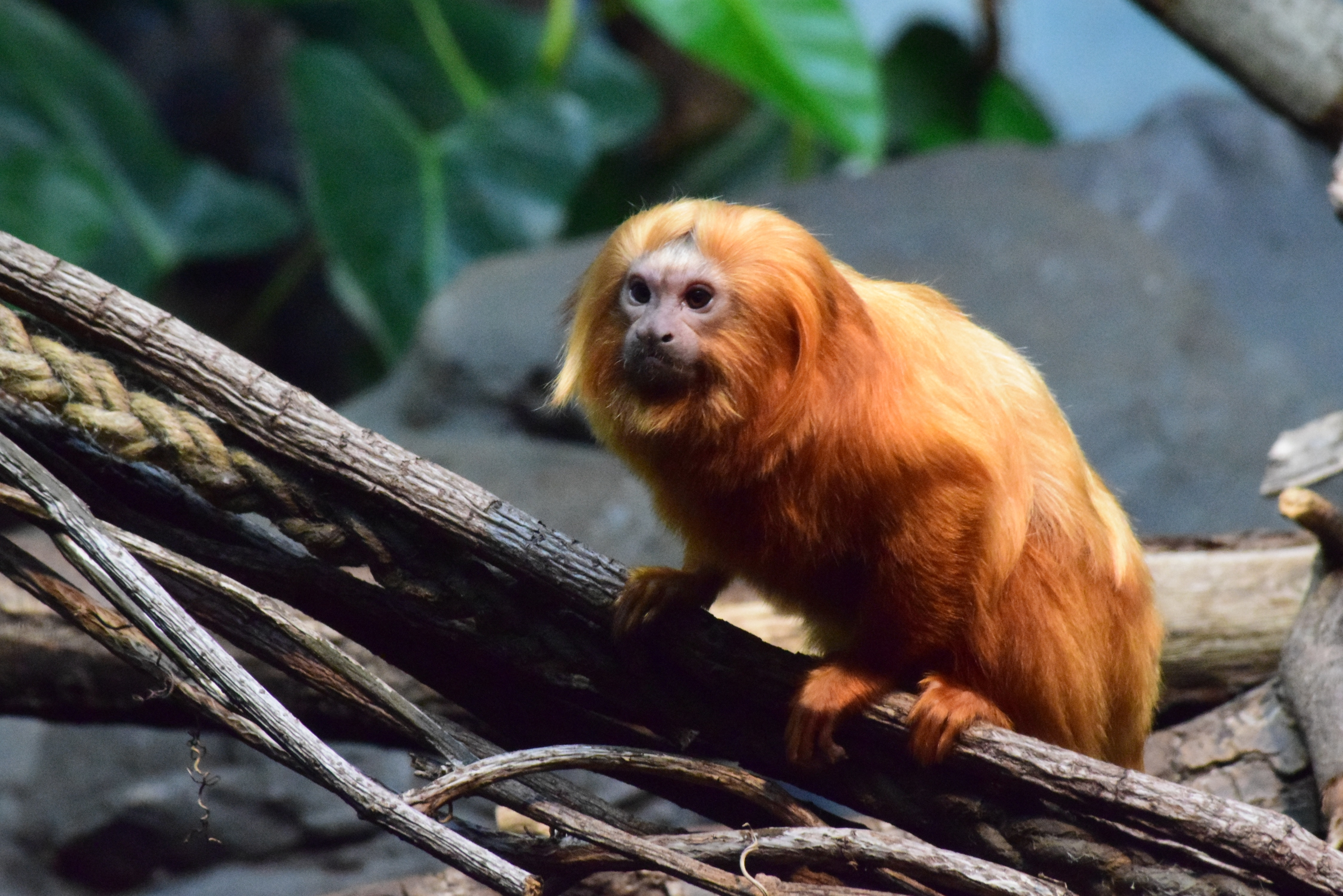 primate in a zoo