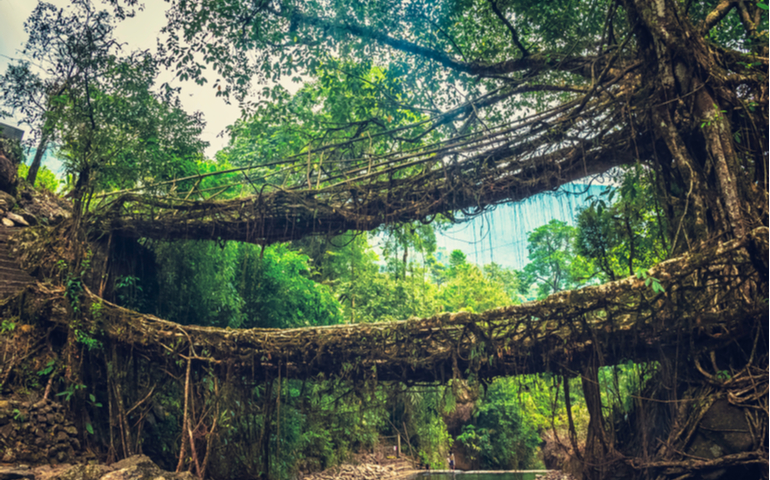 Living roots bridge, Cherrapunji