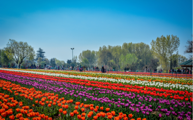 Tulip Garden of Srinagar