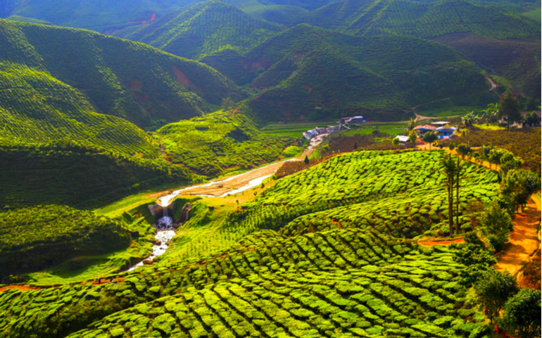 Tea Gardens of Cameron Highlands
