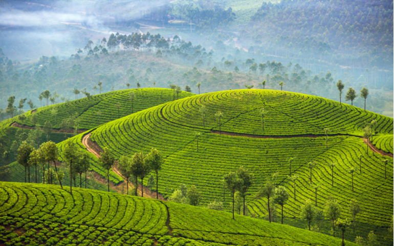 Munnar Tea Plantations in Kerala