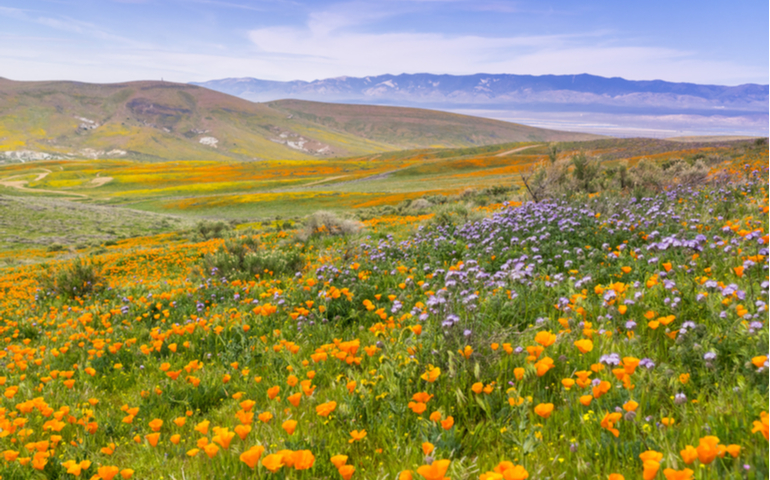 The Flowers in Antelope Valley